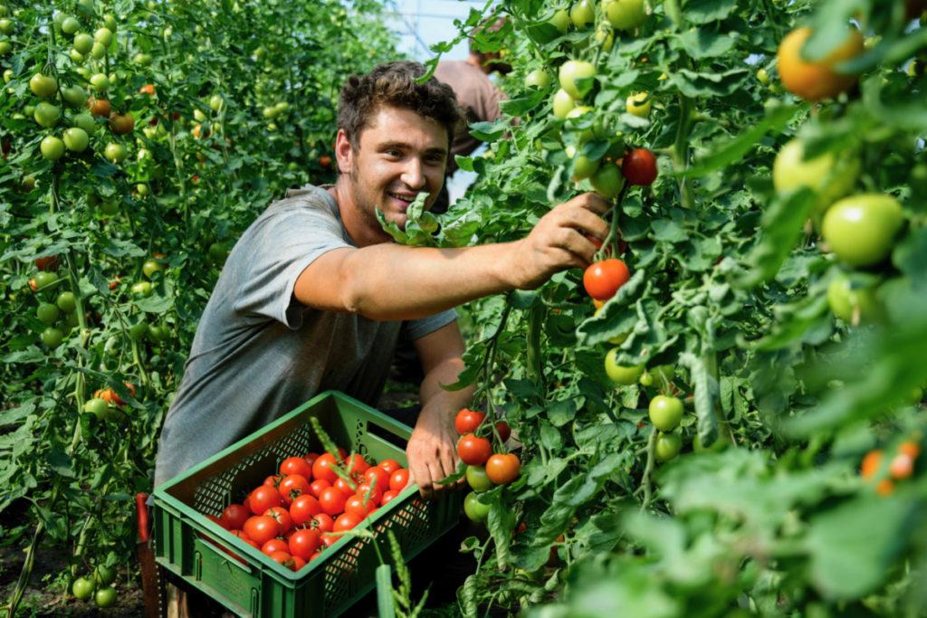 Albert hat sichtlich Spaß bei der Tomatenernte Foto: Wege